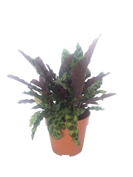 Calathea Lancifolia 150 pot
