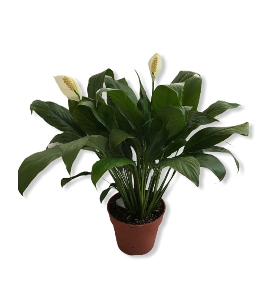 Spathiphyllum, Peace lily