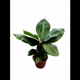 Banana Plant 15C