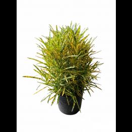 Croton 260pot