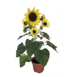 Sunflower 150 pot