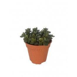 Crassula Small Leaf 150 Pot