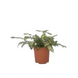 Dracaena Surculosa Japanese Bamboo 170 pot