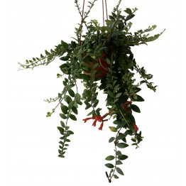 Aeschynanthus (Lipstick Plant)