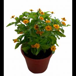 Melampodium Divaricatum (Butter Daisy)