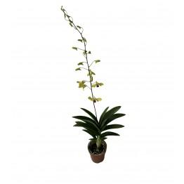 Dendrobium Mini - Yellow