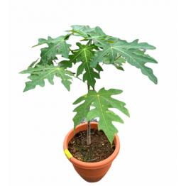 Papaya Plant No 4