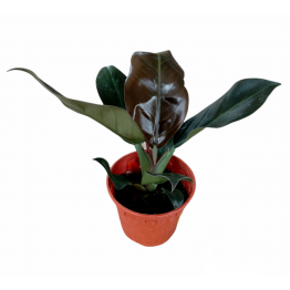 Philodendron Red Cherry