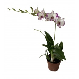 Dendrobium Mini - White with purple edges