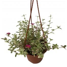 Portulacca spp (Japanese Rose)